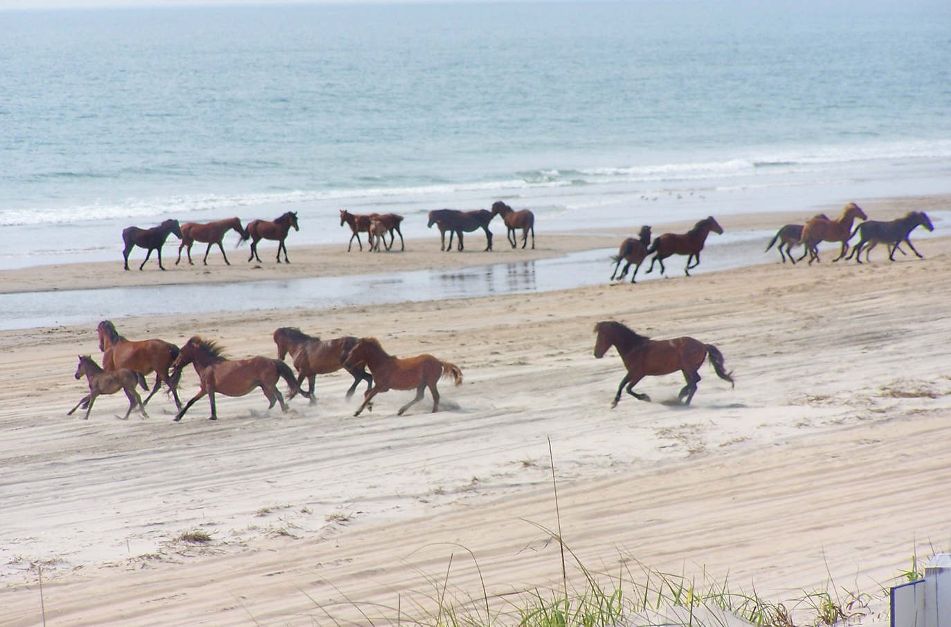 Corolla Wild Horse Fund Outer Banks Vacation Guide