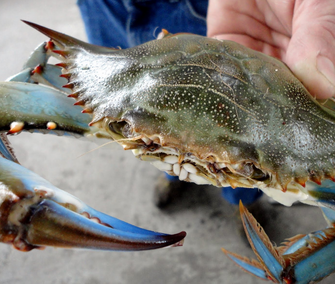 Myrtle Beach Crabbing Eat What You Catvch