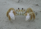 Chase Ghost Crabs